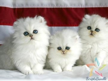 Beautifull Cats For Sale Three Kittens