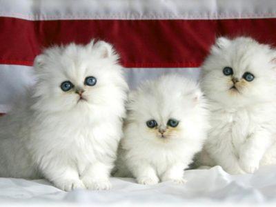 Beautifull Cats For Sale Three Kittens